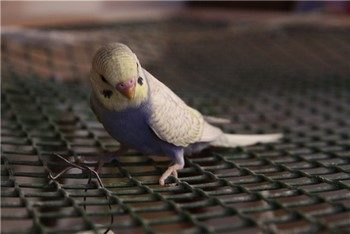 Смешной волнистый попугай