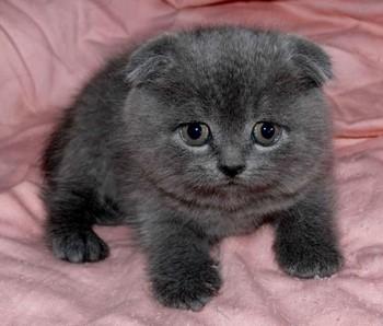Темно-серый шотландский котенок