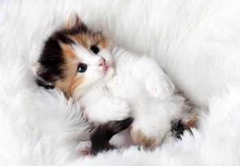 Трехцветный котенок валяется