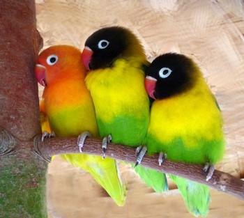 Три попугая неразлучника