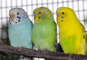 Три волнистый попугая сидят на ветке