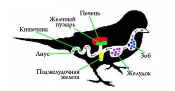 Устройство пищеварительной системы волнистых попугаев