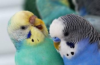 Веселый волнистый попугай улыбается другому