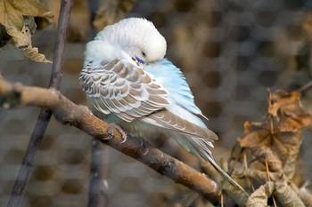 Волнистик прячет клюв в крыло