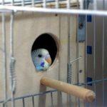 Волнистый попугай выглядывает из гнезда