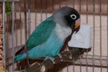 Зеленый попугай неразлучник в клетке