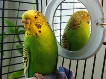 Зеленый волнистый попугай отвернулся от зеркала
