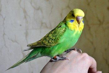 Зеленый волнистый попугай сидит на руке