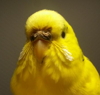 Желтый волнистик крупным планом