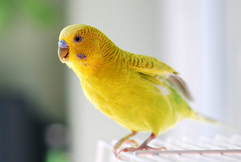 Желтый волнистик сидит на клетке