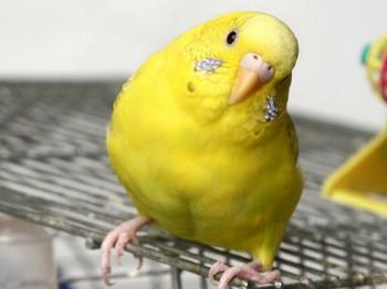 Желтый волнистый попугай сидит на клетке