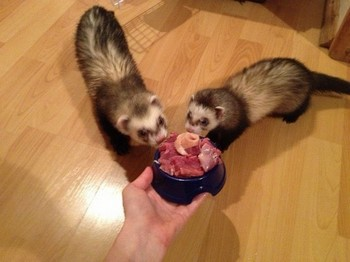 Два хорька едят мясо из миски
