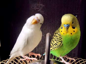 Два волнистых попугая смешно смотрят