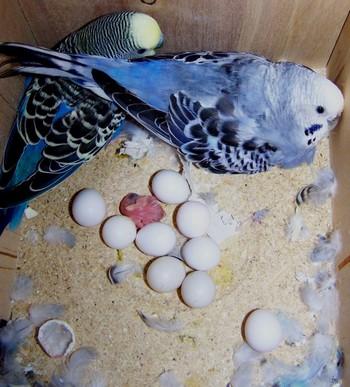 Два волнистых попугая в гнезде с яйцами