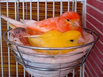 Две канарейки и птенцы в гнезде