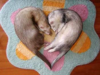 Хорьки спят сердечком