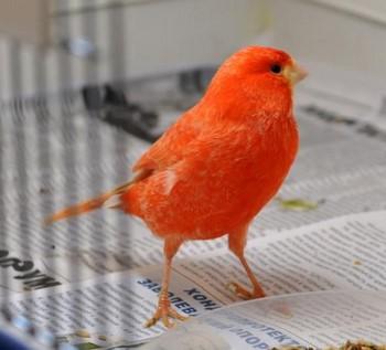 Красная канарейка