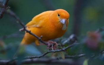 Оранжевая канарейка на ветке