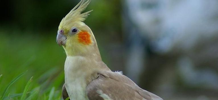 Попугай корелла в траве
