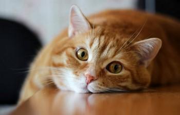 Рыжий кот смотрит
