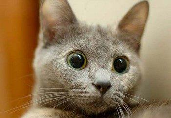 Серый кот удивленно смотрит