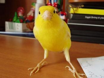Смешная желтая канарейка