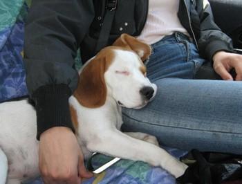 Собака спит на коленках у хозяина
