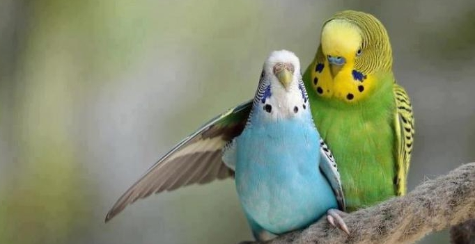 Волнистые попугаи обнимаются