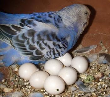 Волнистый попугай и яйца