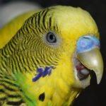 Волнистый попугай крупным планом