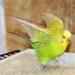 Волнистый попугай купается в воде