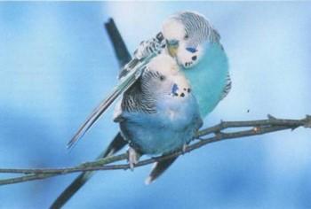 Волнистый попугай обнимает крылом другого