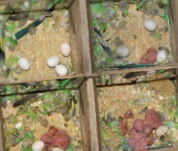 Этапы вылупления птенцов волнистых попугаев