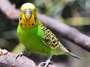 Зеленый волнистый попугайчик