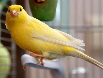 Желтая канарейка в клетке