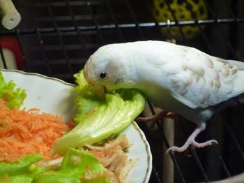 Белый волнистый попугайчик ест лист салата