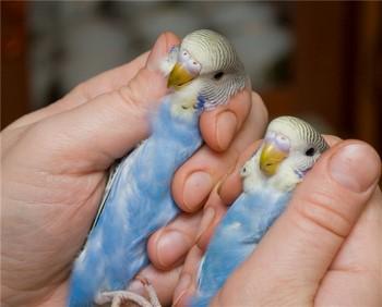 Два волнистых попугайчика в руке