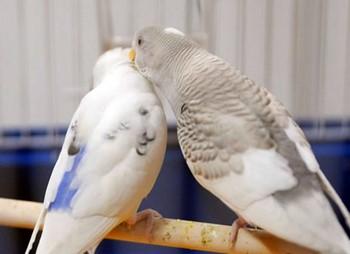 Два белых волнистых попугайчика