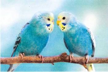 Два голубых волнистых попугая