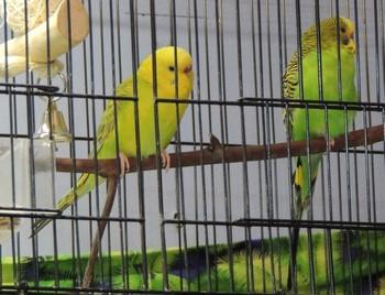 Два волнистых попугая сидят в клетке