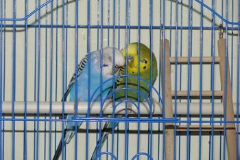 Два волнистых попугайчика на жердочке