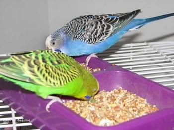 Два волнистых попугайчика кушают зерна