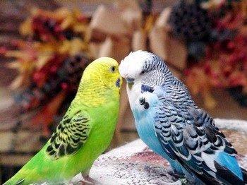 Два волнистых попугая на фоне еды