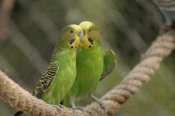 Два зеленых волнистых попугая сидят на канате
