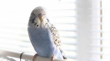 Голубой волнистый попугай сидит на жердочке