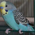 Голубой волнистый попугайчик сидит на клетке