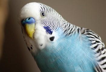 Голубой волнистый попугай сомтрит