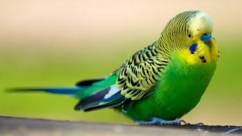 Красивый зеленый волнистый попугайчик