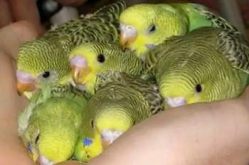 Много маленьких волнистых попугайчиков в руке