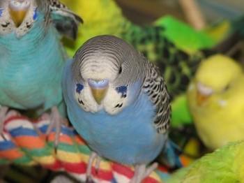 Несколько волнистых попугаев